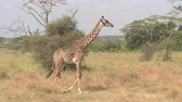 акация : CLOSE UP: Adorable young masai giraffe wandering in wilderness in lush overgrown savannah bushland and green acacia tree woodland in breath-taking Serengeti national park on amazing sunny summer day