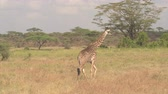 girafa : CLOSE UP: Adorable young masai giraffe wandering in wilderness in lush overgrown savannah bushland and green acacia tree woodland in breath-taking Serengeti national park on amazing sunny summer day