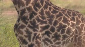 giraffe : CLOSE UP: Detail of genuine leather skin, giraffe pattern coat with unique design, dark brown spots called patches or blotches separated by lighter cream color lines on African giraffa in wilderness