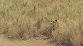 veld : CLOSE UP: Lonely lioness sitting in tall dry dense grass field on sunny African savannah grassland plains. Tired female lion barely tolerating unbearable heat, breathing deeply with muzzle wide opened