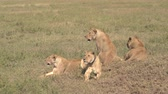chilling : CLOSE UP: Group of adult and young mighty lions lying on sunny savannah grassland field looking for pray. Alpha lioness in safari game reserve wearing GPS tracking device for daily wildlife monitoring