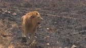 veld : CLOSE UP: Magnificent lion walking slowly on burnt savannah grassland field in breath-taking Serengeti national park. Safari lion standing on veld field in wilderness on sunny golden light morning