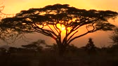 tanzanya : CLOSE UP: Stunning silhouetted thorny acacia tree canopy against golden setting sun in spectacular overgrown savannah grassland woodland in African wilderness. Scenic dry open woodland scenery at dusk