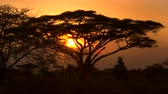 akác : CLOSE UP: Stunning silhouetted thorny acacia tree canopy against golden setting sun in spectacular overgrown savannah grassland woodland in African wilderness. Scenic dry open woodland scenery at dusk