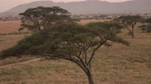 veld : AERIAL: Dusty winding dirt road through savanna grassland woodland disappearing in the distance. Acacia trees scattered around open short grass field on golden light sunset in breathtaking Serengeti