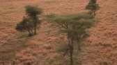 veld : AERIAL, CLOSE UP: Flying above prickly acacia trees scattered around endless short grass savannah grassland landscape in Serengeti national park. Majestic open field wilderness at golden light of dawn Stock Footage