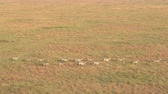 tanzanya : AERIAL, CLOSE UP: Flying above zebra family with infants passing savannah grassland landscape. Wild zebras running in line across vast meadow field in famous Serengeti plains at magical golden sunrise