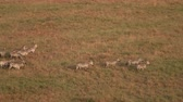 pasturing : AERIAL CLOSE UP: Group of wild zebras with baby zebra running through vast short grass savanna field on sunny golden light evening in famous Serengeti National Park. Safari animals migrating in Africa Stock Footage