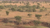 akác : AERIAL: Flying toward stunning dry riverbed in amazing semi-arid African wilderness during dry season. Short grass savannah fields, open acacia woodlands and denuded trees by grazing animals at sunset