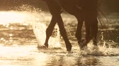 csikó : CLOSE UP, SLOW MOTION: Unrecognizable rider horseback riding strong dark brown horse walking in shallow river. Beautiful horse cooling down and refreshing himself as splashing in water at golden sunset Stock mozgókép