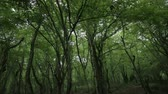 Slow tilt of dark forest with trees trunks with moss. Wide angle shot.