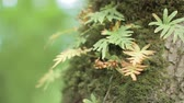 Slow panorama of fern growing on the tree trunk with moss on it. Blurry  bokeh background. Vídeos