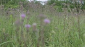 Slow panorama of thistle field with blurry background.