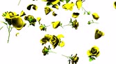 nostálgico : Falling yellow roses on white background.3DCG render animation. Stock Footage