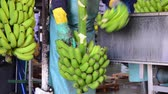 Operator cutting the green banana branches at banana packaging industry.