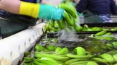 Operator washing bunches of banana at packaging plant. Стоковые видеозаписи