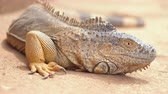Close up shot of an orange iguana in desertic landscape. Cinematic shot.