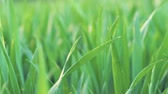 роса : Low angle view, closeup, camera moving forward through green wheat grass . Spring and ecology or agriculture background.
