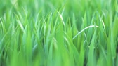 Low angle view, closeup, dolly shot of green wheat grass . Spring and ecology or agriculture concept.