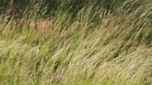 gras : Tall Grass Blowing in the Wind met beweging Stockvideo