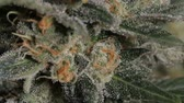 куш : Close-up Shot of Marijuana  Marijuana growing in the led light room shot in low angle.