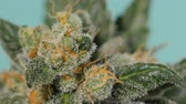 куш : Cannabis bush. Cannabis. Marijuana close up. Macro.