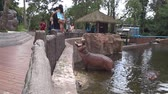 aquático : Chiang Mai, Thailand - July 1, 2018 :  At Chiang Mai Zoo, The hippopotamus get some food from tourist.