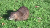 bóbr : nutria, beaverrat, coypu on a meadow eating Wideo