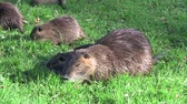 bóbr : young nutria and mother, beaverrat, coypu on a meadow eating Wideo
