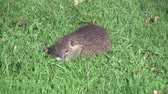 nibbling : nutria, beaverrat, coypu on a meadow eating Stock Footage