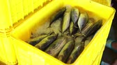stacking : Fish Vendor Packaging Skipjack Tuna with ice and Box - Container
