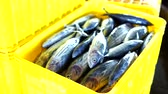 Fish Vendor Packaging Skipjack Tuna with ice and Box - Container