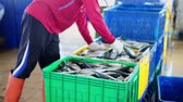 Packaging Fresh Sardine Fish for sale at Traditional Fish Market