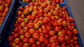 Group of red tomatoes in tray village market agriculture farm