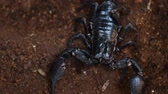 schorpioen : Asian black scorpion in Thaialnd