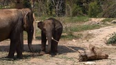 A family of Asian elephants on an elephant farm in Thailand