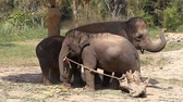 Family of Asian elephants with his baby elephant on an elephant farm in Thailand Stockvideo