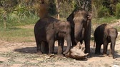 pachyderm : Family of Asian elephants with his baby elephant on an elephant farm in Thailand Stock Footage