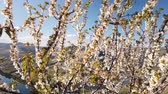 гайка : Almond tree blooming with mountain background, early spring in Douro, Portugal