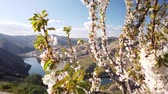 almendras : Almond tree blooming with mountain background, early spring in Douro, Portugal