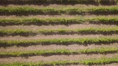 виноград : Aerial view, rows of grape vines, vineyard, Portugal Стоковые видеозаписи