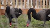 feathering : wild black swans under the cage