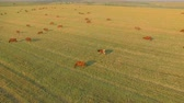 aberdeen : Aerial view cattle group of cows walking slowly over beautiful pasture landscape