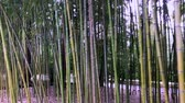 huzur : Bamboo, bamboo leaves, bamboo grove, bamboo stalk Stok Video