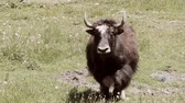 Video of a Yak running toward the camera