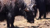 Video of a Yak grassing in a meadow