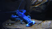 živý : A bright blue lobster moves underwater in a rocky setting