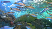 тропический : Yellowtailed Snapper and other tropical fish in a coral reef