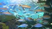 biodiversidade : Yellowtailed Snapper swim with other tropical fish in a coral reef