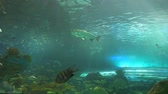 biodiversidade : A pair barracuda swims by a school of tropical fish